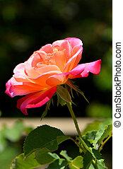 A single Rose flower