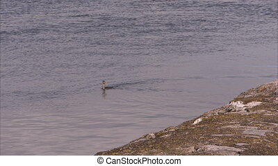 A single swimming duck - A wide long shot of a duck swimming...