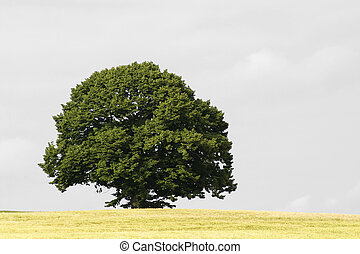 tree - a single tree in spring