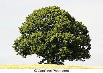single tree - a single tree in summer