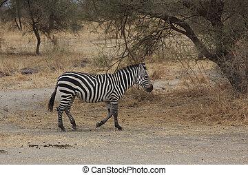 A Single Zebra in Tarangire National Park