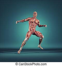 a, sistema muscular