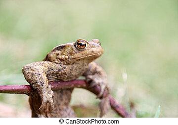 A skinny frog after winter hibernate