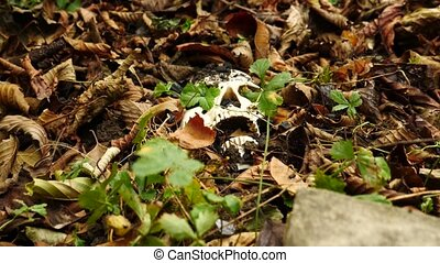 a skull in the ground amid the fallen foul foliage. 4k. copy...