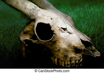 A skull of a goat
