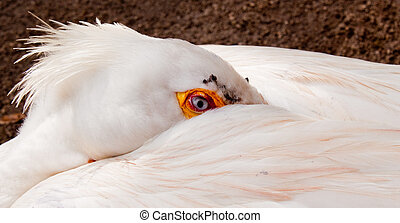 a sleeping American Pelican with his head and beak tucked ...