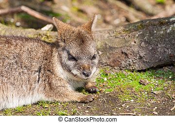 A sleeping parma wallaby