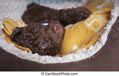 Miniature Poodle Puppy - A sleepy Miniature Poodle Puppy.