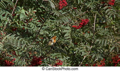 A still shot of a small robin bird perched in a red berry bush