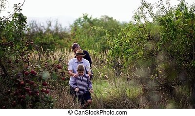 A small boy with father and grandfather walking in apple...