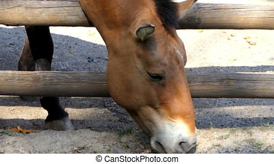 a Small Brown Horse Eats Food From The Soil