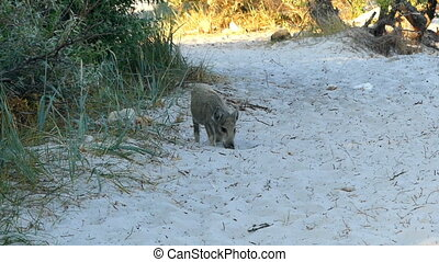 A small brown piglet seeks food on a sandy soil - A jolly ...