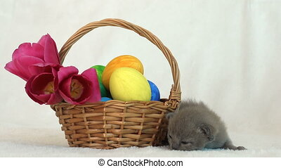 small Burmese kitten next to an Easter basket with painted eggs