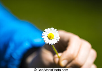 small camomile in hand on a blue background