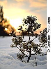 A small Christmas tree in the snow against the backdrop of the setting sun