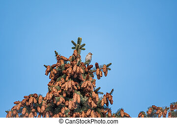 A small common redpoll bird, Acanthis flammea, sits on top of a fir tree among cones against a blue sky.