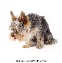 a small curious yorkshire terrier