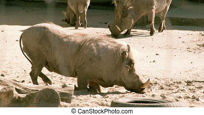 A small desert warthog walking and then lying on the mud...