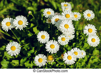 A small field of daisies