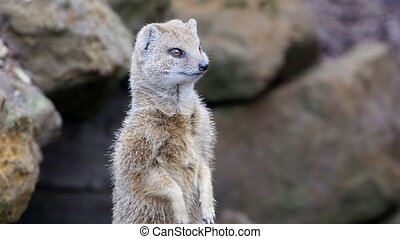 A small fox like animal looking around the area. It has white and gray fur with small ears and eyes