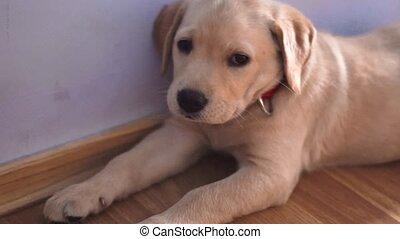 a small funnydog Labrador - portrait of a small funny dog...