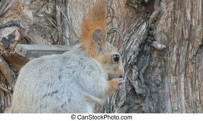 A small gray squirrel with a red tail and ears eats nuts on...