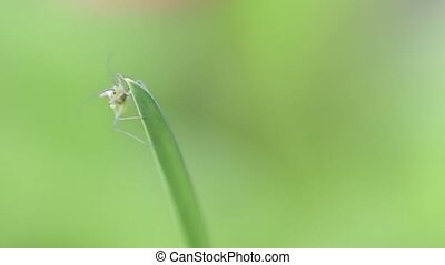 A small green grasshopper sits on a blade of grass