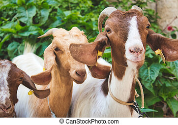 A small group of goats looking at the camera