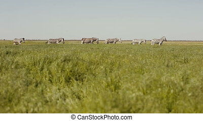A herd of zebras is grazing in the steppe. Grass is moving on the wind.