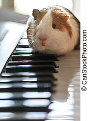 A small guinea pig sits on the keys of the synthesizer - A...
