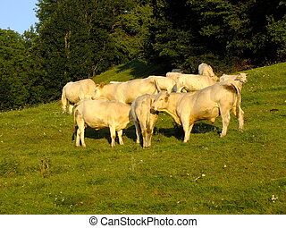 A small herd of cows on the meadow