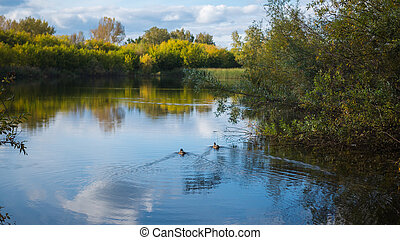 A small lake in the Park, the yellowing trees along the shore. Wild ducks swimming on the lake. The reflection of sky and trees in the water of the lake. A beautiful scenic place