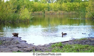 A small lake in the Park. Wild ducks swimming on the lake. The reflection of sky and trees in the water of the lake. A beautiful scenic place
