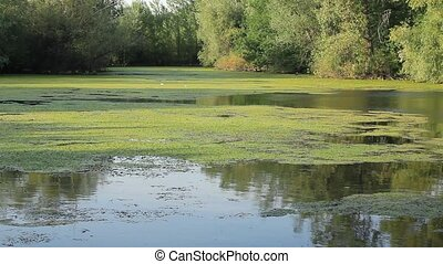 A small lake overgrown with duckweed.