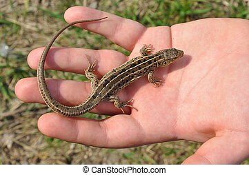 Lizard Sits - A Small Lizard Sits in the Bright Open Palm of...