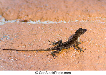 A small lizard with a long tail on a rock.