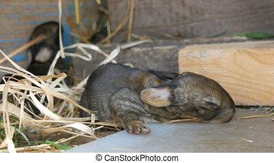 A small newborn blind rabbit crawls in a cage on a farm