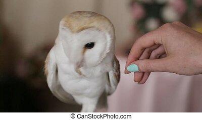 owl barn owl on photography - a small owl barn owl on...