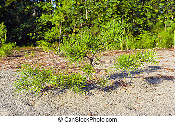 A small pine on the sand.