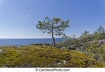 A small pine on the shore of Ladoga Lake.