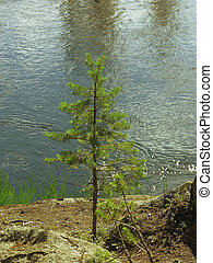 A small pine tree on the river bank