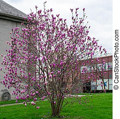 A Small Pink Cherry Blossom Tree on a Freshly Mowed Lawn in Suburban Pennsylvania