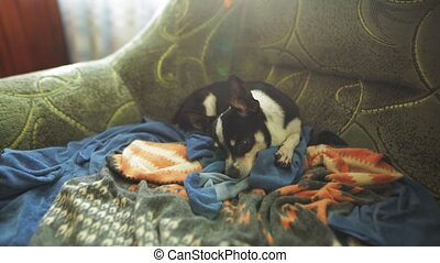 Small cute chihuahua dog resting in the armchair. - A small...