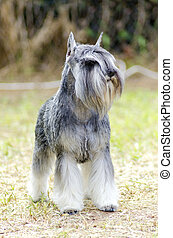 A small salt and pepper, gray Miniature Schnauzer dog standing on the grass, looking very happy. It is known for being an intelligent, loving, and happy dog