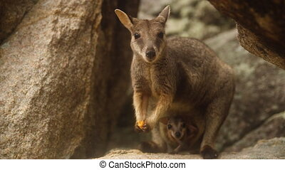 A small Swamp Wallaby eating a piece of carrot - A close up...