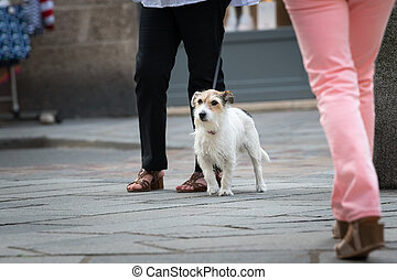 A small terrier dog walking with owner on the street