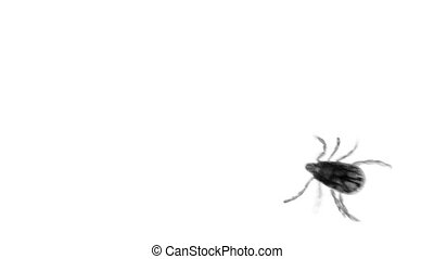 A small tick is a parasite. Macro on white background