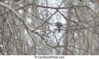 A small titmouse on the branches of a birch tree under falling snow