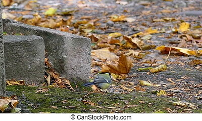 A small tomtit walks on a green lawn with rusty leaves in...