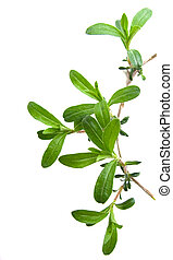 summer savory - a small twig of fresh summer savory